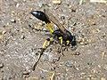 Sceliphron spirifex (Sphecidae) - (imago), Narbolia (comuni), Italy - 2.jpg