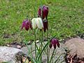 Schachblumen (Liebig).jpg
