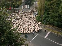 Flock of sheep moving through a city early on a holiday morning