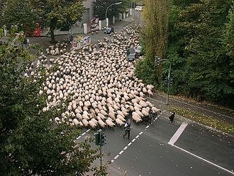 Sheep farming - Flock of sheep moving through Cologne, Germany early on a holiday morning