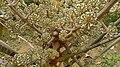 Schefflera morototoni (Aubl.) Maguire, Steyerm. & Frodin (8182014327).jpg
