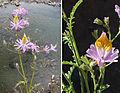 Schizanthus hookeri (8706644124).jpg