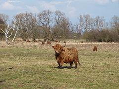 Schottisches Hochlandrind mit Herde.JPG