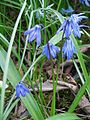 Scilla siberica close-up.jpg
