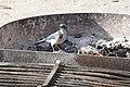 Scrub Jay in fire pit (31120579320).jpg
