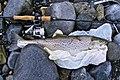 Sea-Trout 2.72Kg - 60cm - Galway Bay, Ireland.jpg