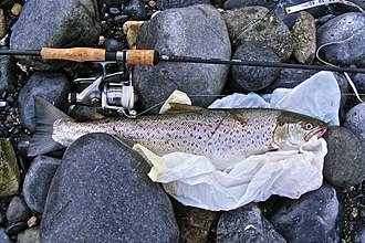 Brown trout - A 2.7-kg (6 lb), 60-cm (2 ft) sea trout, from Galway Bay in the west of Ireland bearing scars from a fishing net