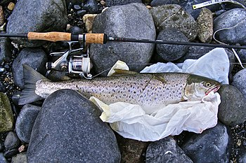 English: A 60cm sea-trout caught (and promptly...