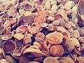 Sea-shells.jpg