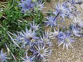 Sea Holly, Portobello (14589390918).jpg