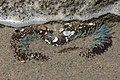 Sea anemone (41335039850).jpg