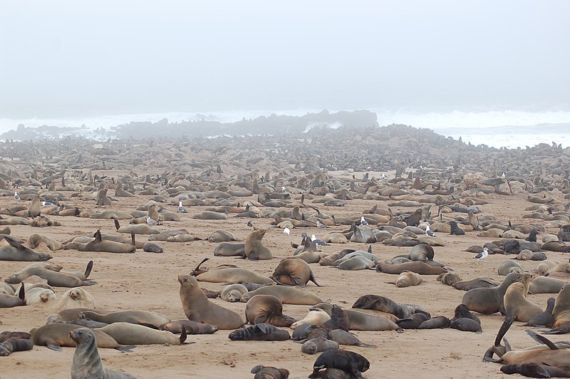 File:Seals at Cape Cross, Namibia (3045814005).jpg