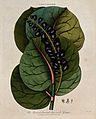 Seaside grape (Coccoloba uvifera); fruiting stem and floral Wellcome V0044298.jpg