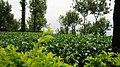 Seethragund estate, Nelliampathy - panoramio.jpg