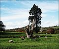 Selsley, Stroud ... sheep country. - Flickr - BazzaDaRambler.jpg