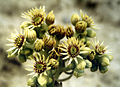Sempervivum ruthenicum.jpg