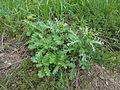 Senecio vulgaris 03.JPG