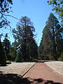 Sequoia in Lake Wendouree Park Ballarat - panoramio.jpg