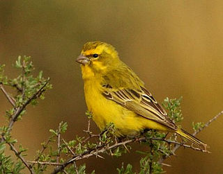 Yellow canary species of bird