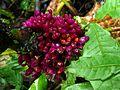 Setawar (Amischotolype griffitthii, Commelinaceae) (8410521331).jpg