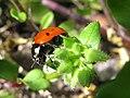 Seven-spot ladybird 1.jpg