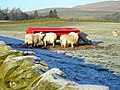 Sheep Feeding Near Killylour Filter Station - geograph.org.uk - 638092.jpg
