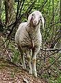Sheep in Belluno.jpg