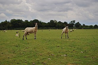 Tasburgh - Sheep on the poorly preserved fort