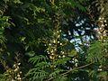 Shembi (Marathi- शेंबी) (2886017036).jpg
