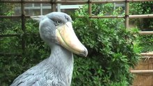 File:Shoebill-uenozoo2008.ogv