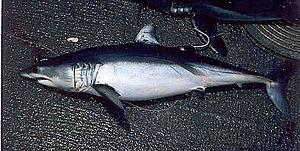 Isurus - Shortfin mako shark (I. oxyrinchus)