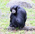 Siamang Tierpark Hellabrunn-1.jpg