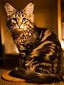 Siberian black tabby blotched cat 04.jpg