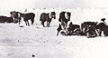 Siberian ponies - Terra Nova Expedition.jpg