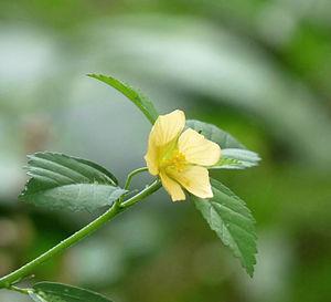Sida rhombifolia - Image: Sida rhombifolia in Kadavoor