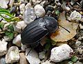 Silphidae. Carrion Beetle (16278467411).jpg