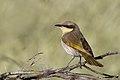 Singing Honeyeater (Lichenostomus virescens) (35152649011).jpg
