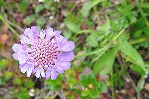Shine scabiosis (Scabiosa lucida)