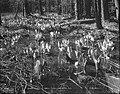 Skunk Lillies, Stanley Park, Vancouver, B.C. (14115031985).jpg