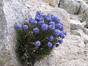 Flora of the Sierra Nevada alpine zone - Image: Sky Pilot (Polemonium eximium) 2
