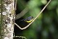 Slate-throated Redstart (Myioborus miniatus) (4856995202).jpg