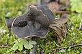Slate Grey Saddle - Helvella lacunosa (37669128245).jpg