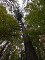 Smrk v listnatém lese.JPG