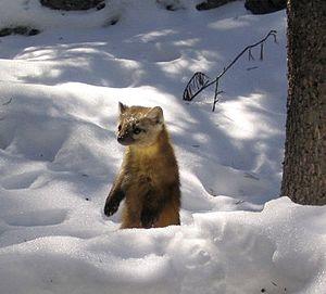American marten - American marten standing in a snowy glade