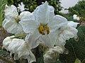 Solanum incompletum (6698092511).jpg