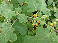 Solanum indicum at Queen Sirikit Botanic Garden - Chiang Mai 2013 2602.jpg