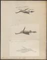Solenostoma paradoxum - 1700-1880 - Print - Iconographia Zoologica - Special Collections University of Amsterdam - UBA01 IZ14500001.tif