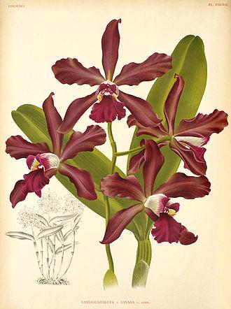 × Sophrocattleya - × S. elegans