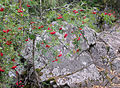 Sorbus and stone (Kivach Nature Reserve).JPG