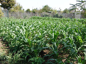 Community gardening - Crops at the former South Central Farm in Los Angeles, California, United States
